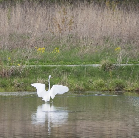 Great egret water landing